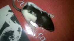 Raton 2, rongeur Rat