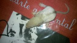 Raton 3, rongeur Rat