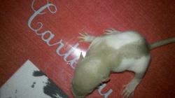 Raton 4, rongeur Rat