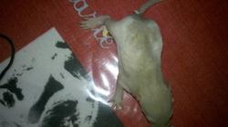 Raton 6, rongeur Rat