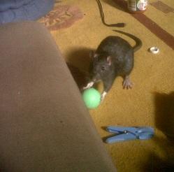 Raton, rongeur Rat