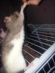 Ratou, rongeur Rat