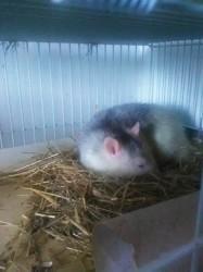 Ratoune, rongeur Rat