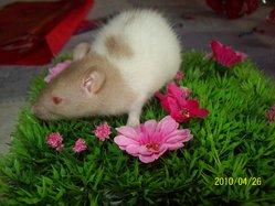 Ratounne, rongeur Rat