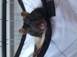 Ravi, rongeur Rat
