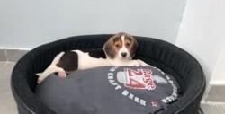 Raya, chiot Beagle