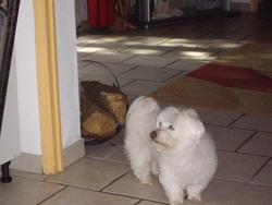 Rayan, chien Bichon maltais