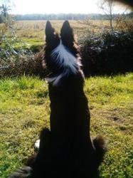 Rayden, chiot Border Collie