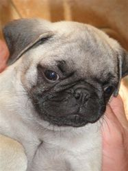 Raymond, chien Carlin