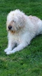 Raymond, chien Griffon belge
