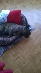 Raymond, chien Bouledogue français