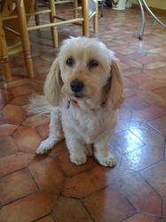 Rayna, chien Coton de Tuléar