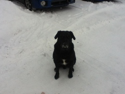Raz, chien Labrador Retriever