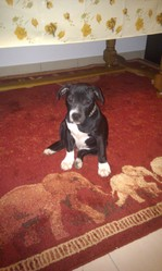 Reasey, chien Staffordshire Bull Terrier