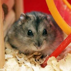 Rebelle, rongeur Hamster