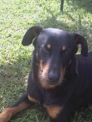 Rebelle, chien Beauceron