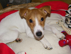 Redbull, chien Jack Russell Terrier