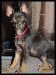 Reese, chien Pinscher