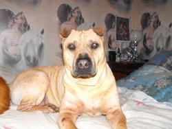 Régina, chien Shar Pei