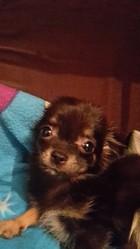 Reglice, chien Chihuahua
