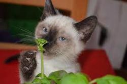 Réglise, chat Siamois