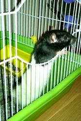 Réglise, rongeur Rat