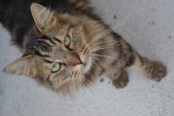 Réglise, chat Gouttière