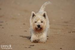 Réglisse, chien West Highland White Terrier