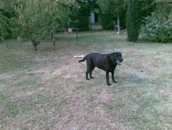 Reglisse, chien Labrador Retriever