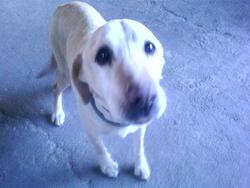 Réglisse, chien Labrador Retriever