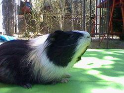 Reglisse, rongeur Cochon d'Inde
