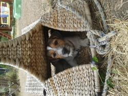 Réglisse, chien Jack Russell Terrier