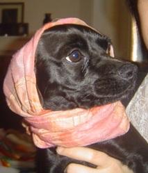Réglisse, chien Pinscher
