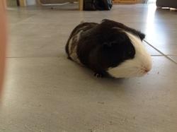 Réglisse, rongeur Cochon d'Inde