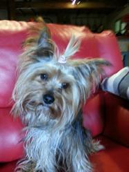 Réglisse, chien Yorkshire Terrier