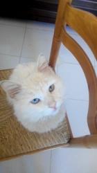 Réglisse, chat Angora turc