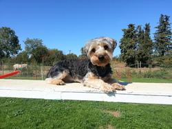 Réglys, chien Yorkshire Terrier