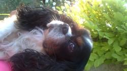 Reiki, chien Cavalier King Charles Spaniel