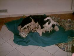 Reine, chien Berger des Pyrénées