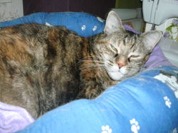 Reinette, chat Européen