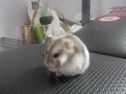 Reinhardt, rongeur Hamster