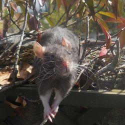 Remy, rongeur Rat