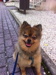 Renard, chien Spitz allemand
