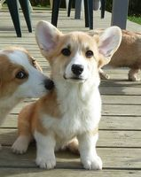Renard, chien Welsh Corgi