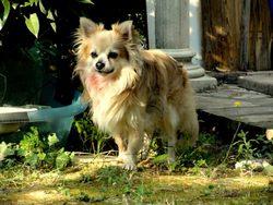 Renato, chien Chihuahua