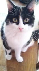 Renée, chat Angora turc