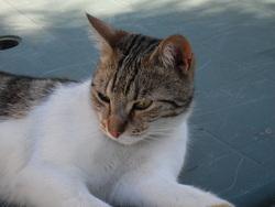 Renette, chat Européen