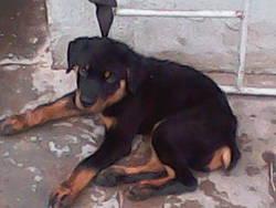Renne, chien Rottweiler