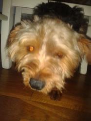 Renzo, chien Yorkshire Terrier