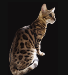 Replay, chaton Bengal